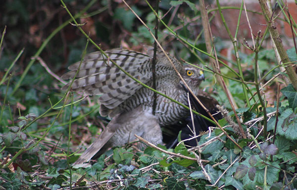 Sparrowhawk vs jackdaw