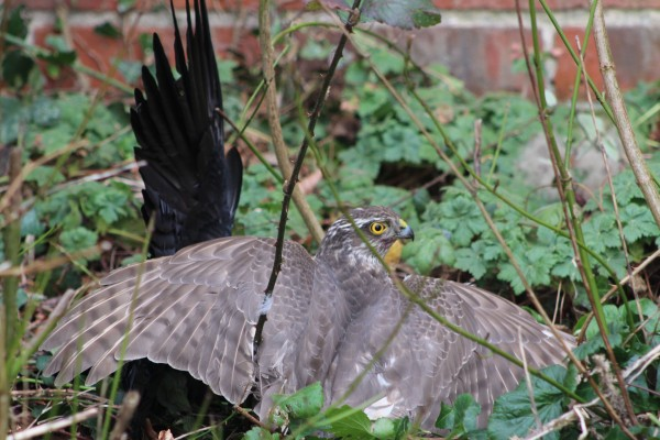 Sparrowhawk covers her 'kill' having brought down a jackdaw