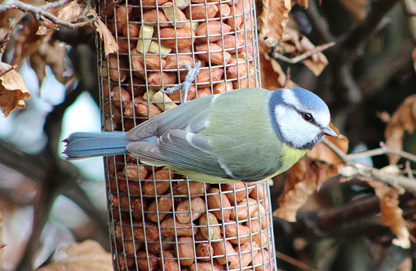 Blue tit on nuts