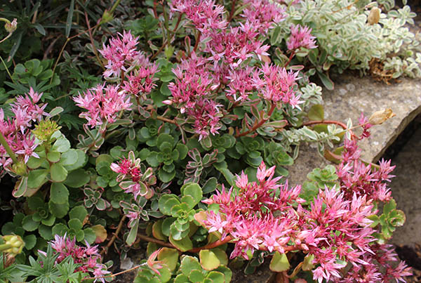 An alpine sedum giving it's all