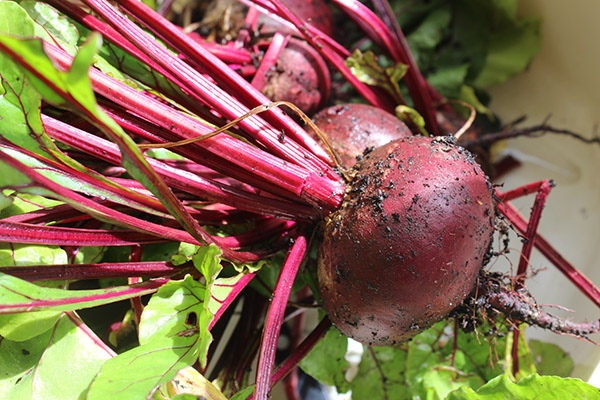Fresh from the veg plot: beetroot glut