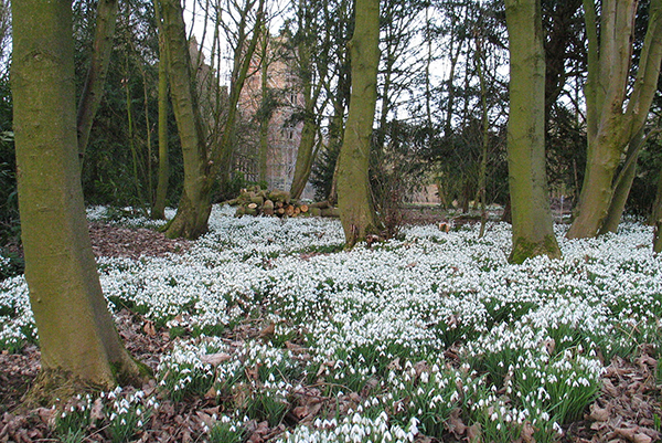 Snowdrop carpet at Bank Hall, Bretherton
