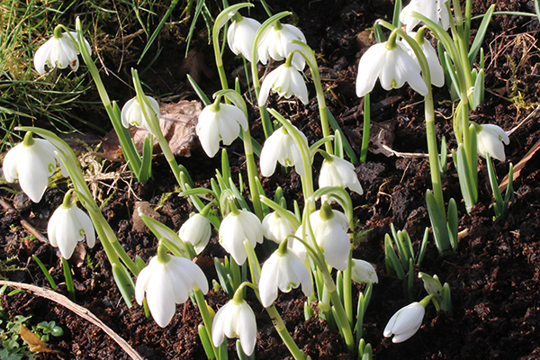 Snowdrops (Galantha species), the first sign that winter is waning