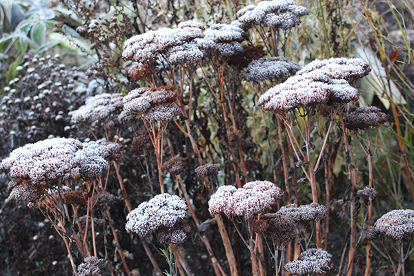 Winter Sedum heads