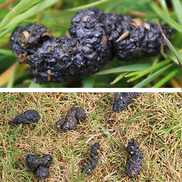 Hedgehog poop – shiny, black, generally cylindrical ... and lots of it!