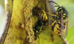 Wasps on rotting pear