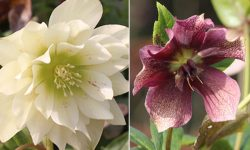 The glory of Hellebores revealed