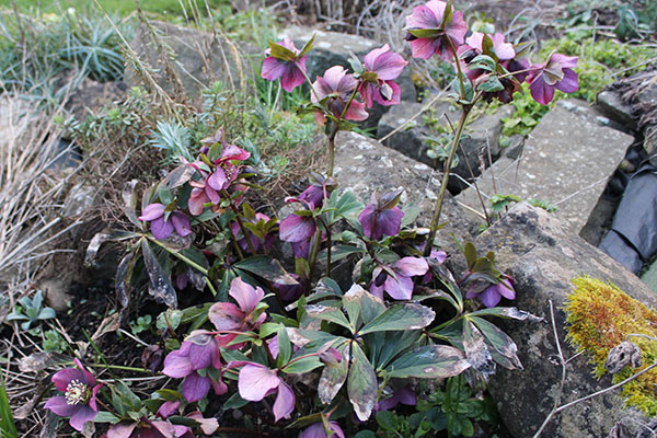 Remove old leaves from Hellebores to reveal the blooms