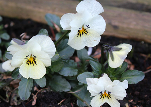 Feed your pansies in Spring