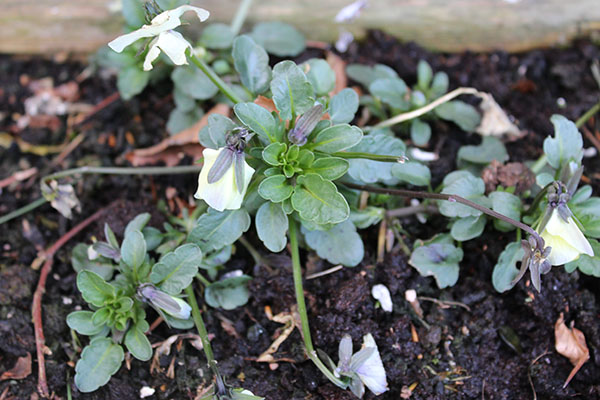 My pansies were looking pretty ragged after the harsh winter we've just had