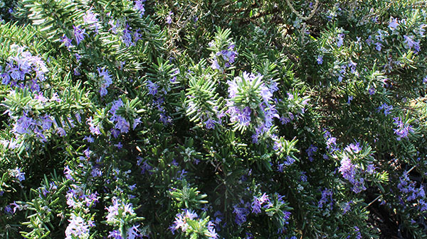 Rosemary – deep green needle-covered branches smothered in delicate violet-blue flowers