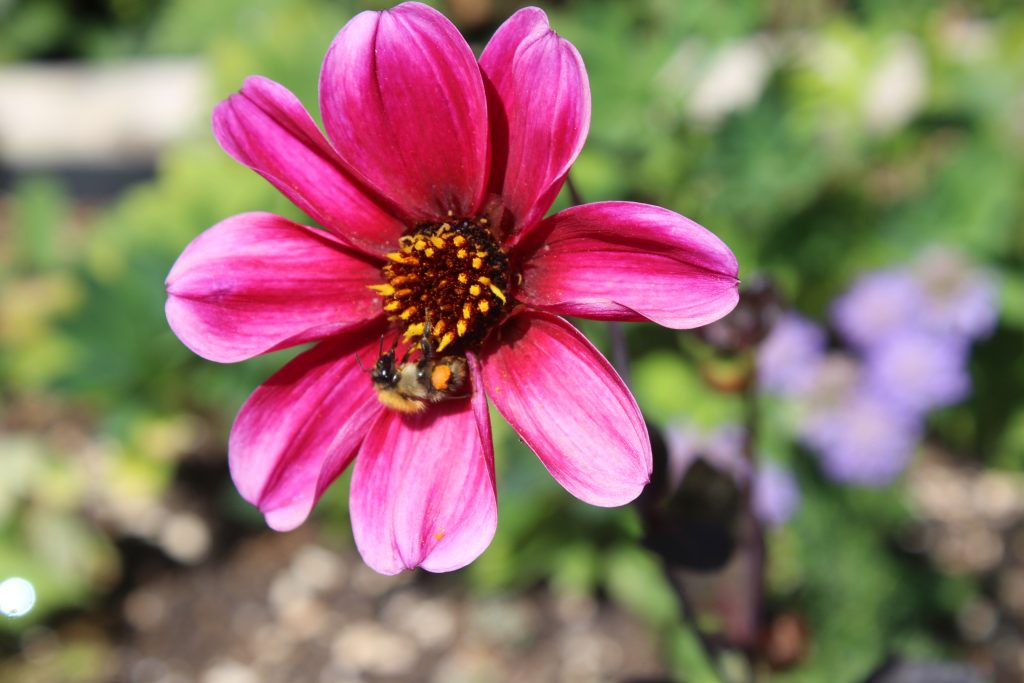 Dahlias can provide much-needed late-season nectar for bees