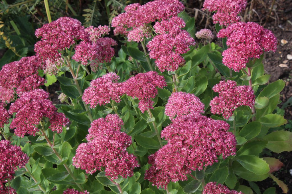 Sedum spectabile is at its most spectacular August to October