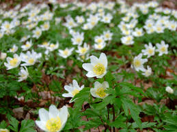 Anemone nemorosa produces carpets of blooms in spring