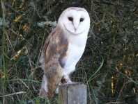 Barn owl, Pagham harbour nature reserve