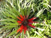 Selsey-Fasciculari- bicolor