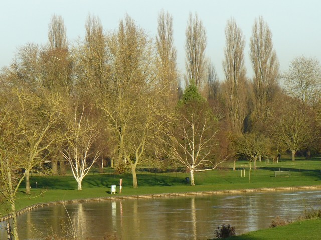 Abbey Meadows poplars