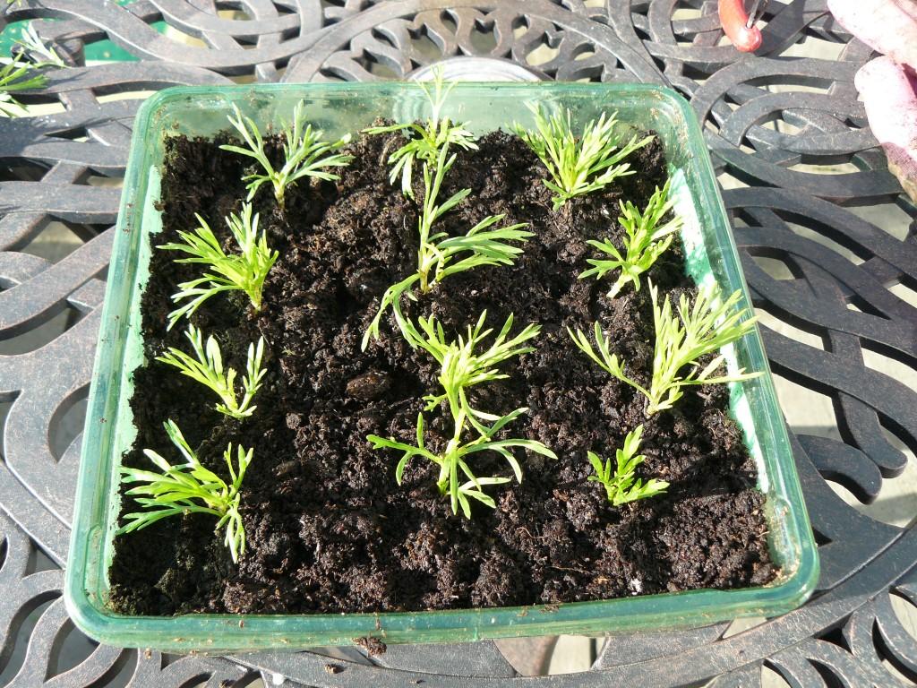 Argyranthemum leaf cuttings