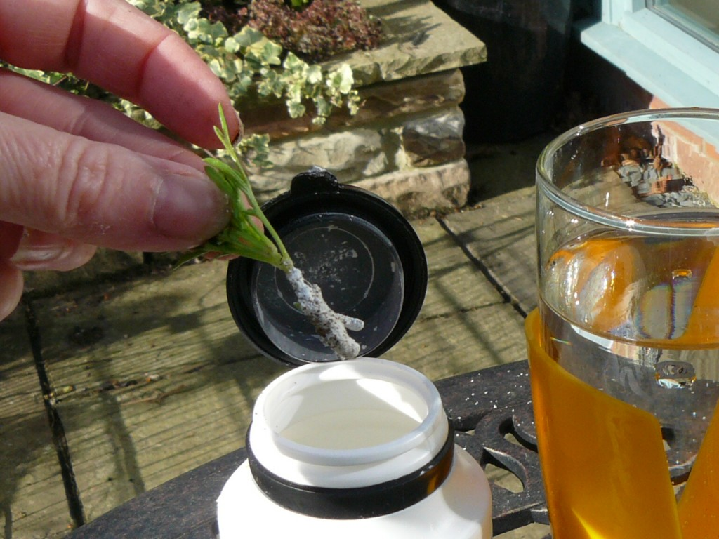 Argyranthemum leaf cutting - dip in rooting powder