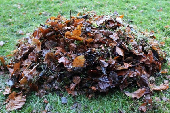 winter pile of beech leaves