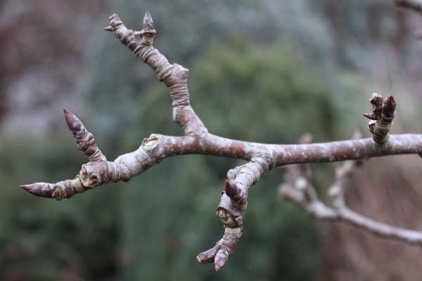 Apple tree in winter bud