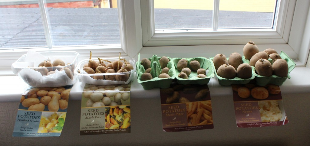 Potatoes chitting on a window sill