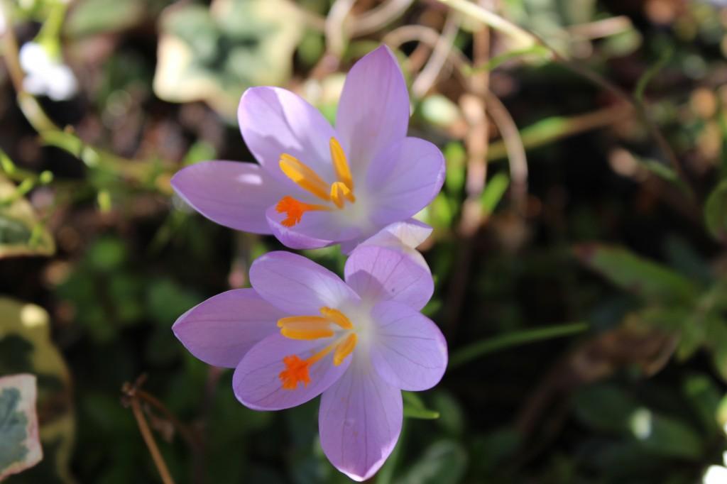 #spring YES - crocus blooms