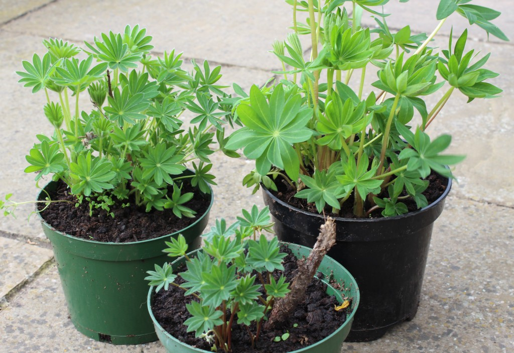 Overwinter success with lifted lupins