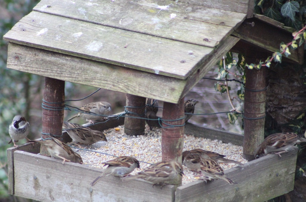 Small groups of house sparrows congregate at different feeding stations around the garden