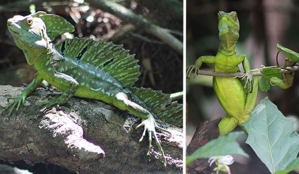 Green baselisk lizards, Costa Rica