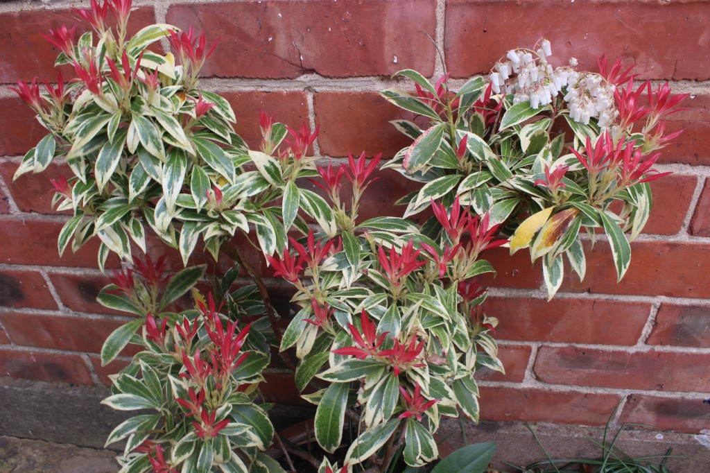 The vibrant red-tipped growth of the Pieris Forest Flame reminds me to be alert for frosts