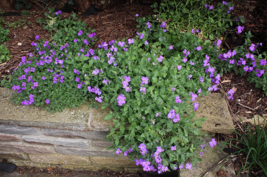 Blooming aubretia softens and brightens stone walls and shady corners