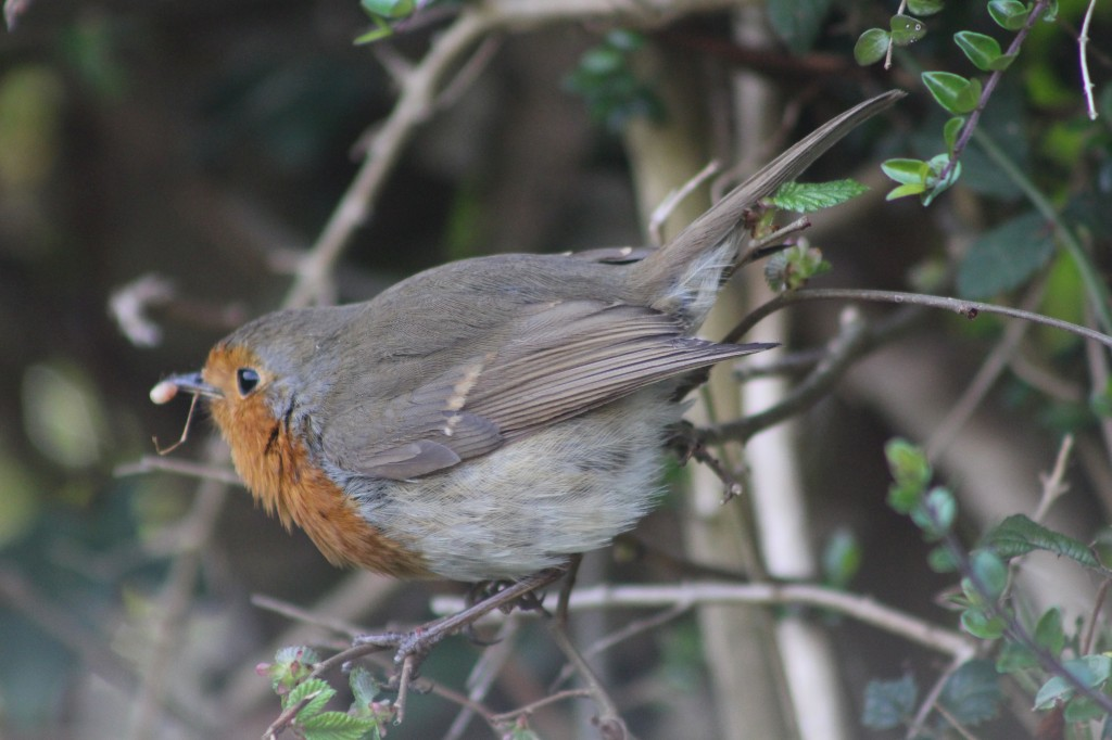 A busy robin taking food back to the nest