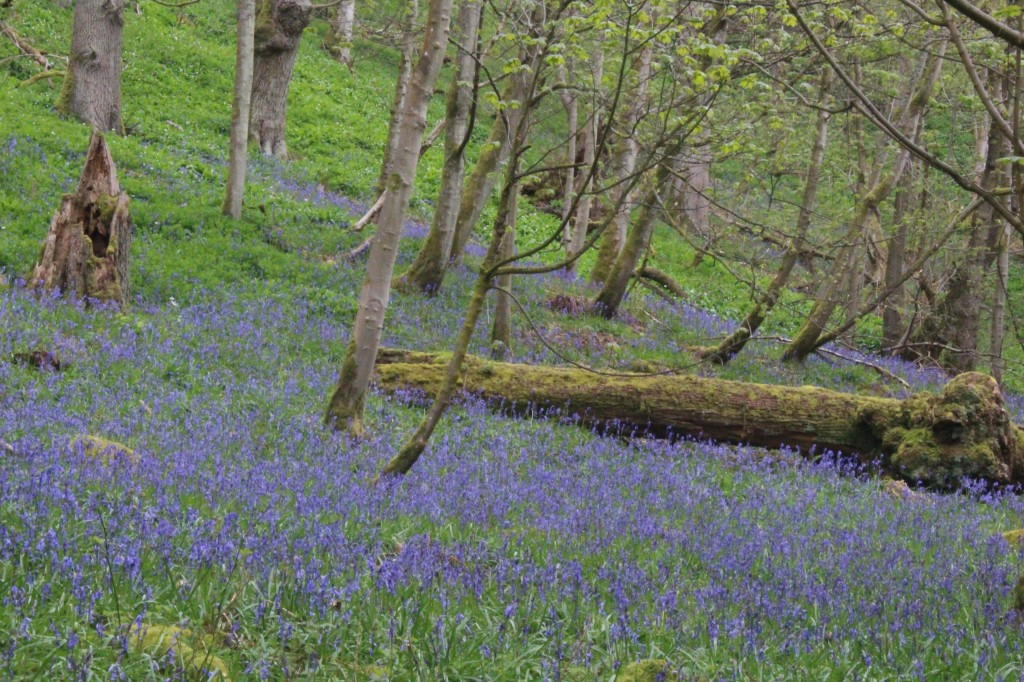 A carpet of bluebells, in Strid Wood, Bolton Abbey