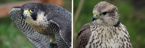 Peregrine falcon and Saker falcon