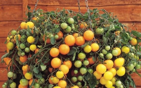 Yellow Tumbling Tom tomatoes in hanging basket