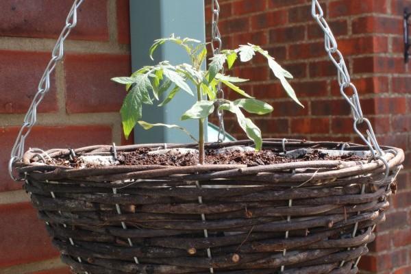 Tumbling Tom tomato planted in hanging basket