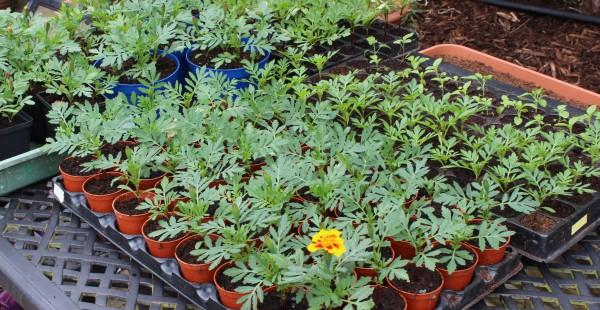 Growing on marigolds