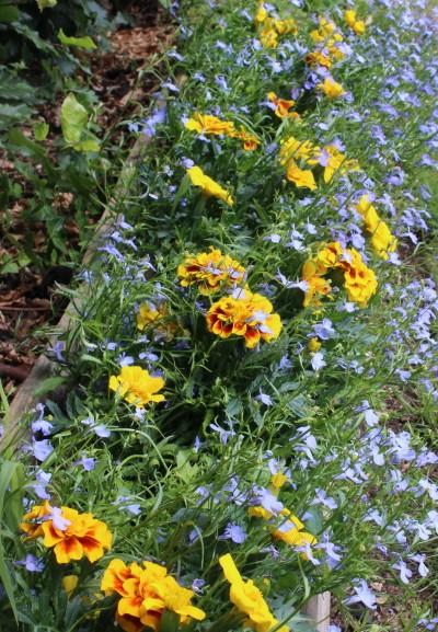 Marigolds in situ, adding a much-needed splash of summer colour throughout the garden