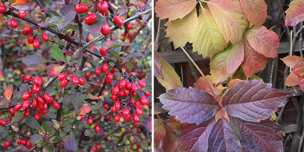 Autumn fruit and leaf colour: Berberis berries and the changing leaves of Virginia Creeper
