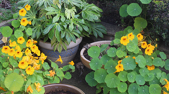 Long-lived golden nasturtiums brighten gloomy corners