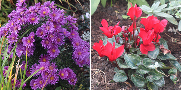 Rich jewel tones of aster and cyclamen