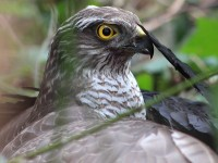The magnificent sparrowhawk (Accipiter nissus)