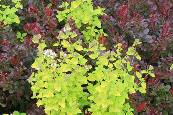Golden marjoram growing through burgundy Berberis – what a great colour combination!