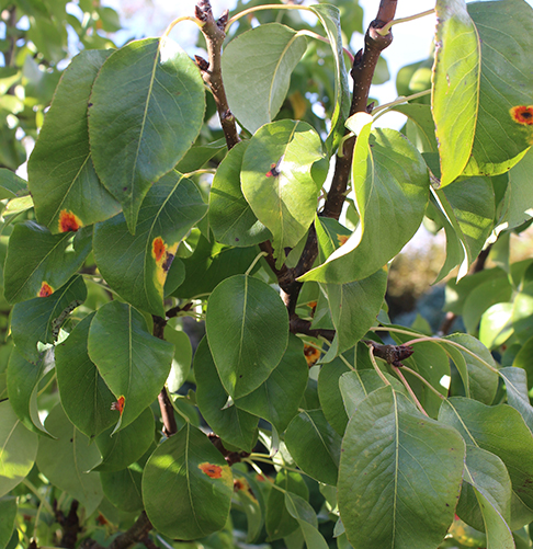Orange-red spots on leaves: first sign of pear rust