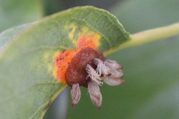Pear rust: warty gall on the underside of the leaves with hair-like projections