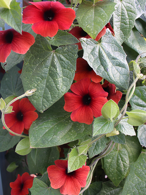 The vibrant black-eyed susan vine (Thunbergia alata)