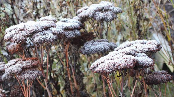 Frost-capped sedum