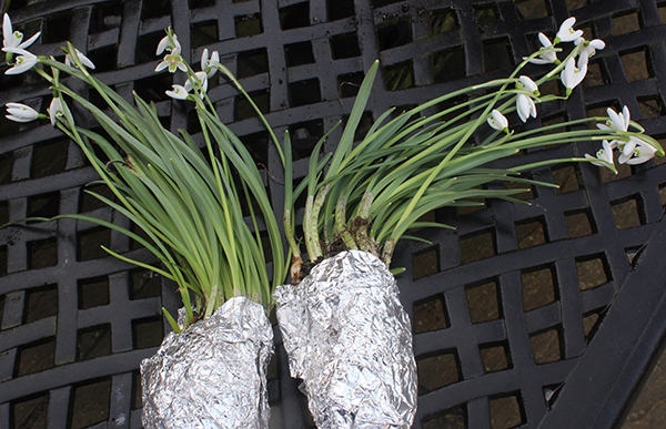 Plant snowdrops 'in the green', sold in dug up bundles