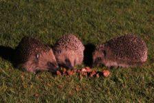Hedgehogs feeding